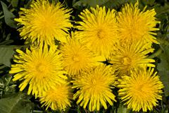 Common dandelion (taraxacum officinale) in bloom, medicinal plant Kuvituskuvat