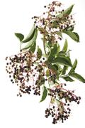 black elder or european elderberry (sambucus nigra) - stock photo