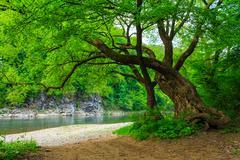 Powerful tree near the rocky river Stock Photos