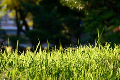 Close up of green lawns on backlight Stock Photos