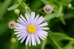 Closeup of purple aster flower Stock Photos