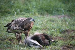 White-tailed eagle or sea eagle (haliaeetus albicilla), 2-year-old young bird Stock Photos