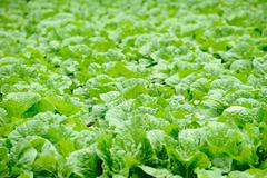 Chinese cabbage field in the country side Stock Photos
