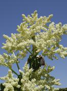 rhubarb plant blossoms (rheum rharbarbarum) - stock photo