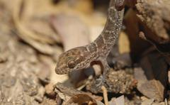 South american marked gecko (homonota fasciata) climbing down a rock, boquero Stock Photos
