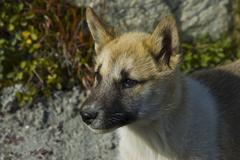 Greenland sled dog (canidae), greenland, arctic Stock Photos