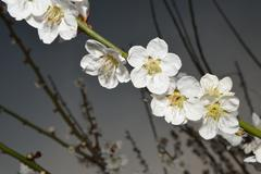 flowers of a tree of an apricot - stock photo