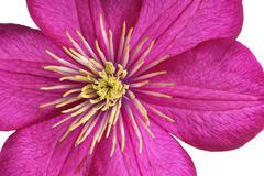 Purple clematis (clematis) flower Stock Photos