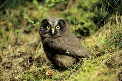 tengmalm\'s owl (aegolius funereus) fledgling, neunkirchen im siegerland, nor - stock photo
