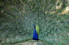 Peacock (pavo cristatus), male, displaying its tail for courtship Stock Photos
