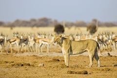 Lioness (panthera leo) hunting a herd of springbok antelopes (antidorcas mars Stock Photos