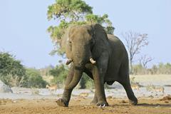 african bush elephant (loxodonta africana) bull, savuti, chobe national park, - stock photo