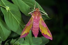 small elephant hawk-moth (deilephila porcellus) - stock photo