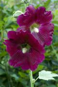 Common hollyhock (alcea rosea) in gertrude messner\'s herb garden, brandenber Stock Photos
