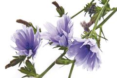 Chicory or blue sailors blossoms (cichorium intybus) Stock Photos