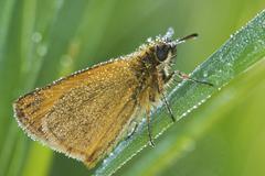 Large skipper butterfly (ochlodes sylvanus) Stock Photos