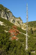 Loan red leafed european rowan tree (sorbus aucuparia) next to a dead tree tr Stock Photos