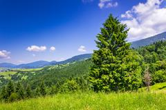 mountain coniferous forest in good  summer weather - stock photo