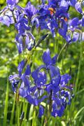 harlequin blueflag or larger blue flag (iris versicolor) - stock photo