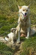 Greenland dog with puppy (canidae), sled dog, greenland, arctic Stock Photos