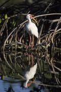 Stock Photo of american white ibis (eudocimus albus) in a mangrove, florida, usa