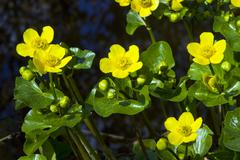 Flowering kingcups or marsh marigolds (caltha palustris) Stock Photos