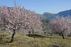 blossoming almond trees (prunus dulcis, prunus amygdalus) at an orchard, tarb - stock photo