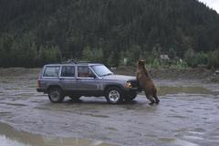 Grizzly bear (ursus arctos horribilis) attacking a car, alaska, usa Stock Photos