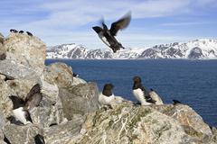 little auks or dovekies (alle alle), spitsbergen, norway, scandinavia, europe - stock photo