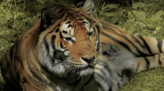 Gorgeous Tiger in Natural Setting Stock Footage