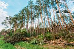 Windfall in forest. storm damage. Stock Photos