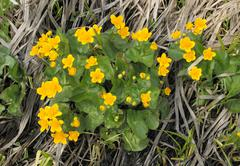 Marsh marigold, kingcup (caltha palustris) growing in a wetland biotope near  Stock Photos
