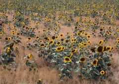Sunflower field (helianthus annuus), assisi, umbria, italy, europe Stock Photos