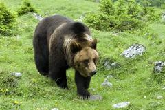 Brown bear (ursus arctos), eng-alm alpine pasture, karwendel range, tyrol, au Stock Photos