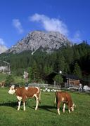 Cows grazing on stallen-alm alpine pasture in front of mt. rauher knoell, sta Stock Photos