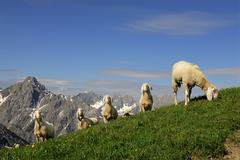 Sheep (ovis orientalis aries) on a mountain meadow, lechtaler alps, elmen, le Stock Photos