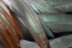 Chabo or japanese bantam (gallus gallus) plumage, rooster, cock, schwaz, tyro Kuvituskuvat