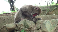 Japanese Macaque Monkey Picks At It's Leg While Sitting On Rock 4K Stock Footage