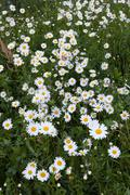 Daisy flowers in meadow Kuvituskuvat