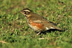 Redwing (turdus iliacus) on a meadow in its wintering ground, texel island, h Stock Photos