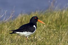 Eurasian - or common pied oystercatcher (haematopus ostralegus) Stock Photos