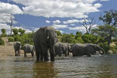 African bush elephants (loxodonta africana) on the shores of chobe river, cho Stock Photos