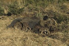 Stock Photo of wild boar sow (sus scrofa) nursing its young, piglets suckling their mother