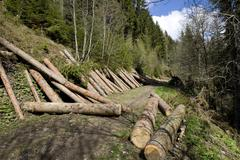Lumbered wood lying on a mountain slope, storm damage, to be removed by fores Kuvituskuvat