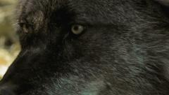 Extreme closeup of a Black Wolf Stock Footage