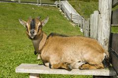 pygmy goat (capra hircus), eng-alm, eng alp, karwendel range, austria, europe - stock photo