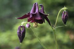 Columbine or granny\'s nightcap (aquilegia vulgaris), vomper-loch, karwendel  Stock Photos