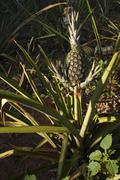 Stock Photo of pineapple (ananas comosus) fruit growing on a field, san pedro, paraguay, sou