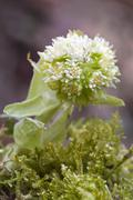 white butterbur (petasites albus), karwendel range, tyrol, austria, europe - stock photo