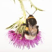 buff-tailed bumblebee or large earth bumblebee (bombus terrestris) on a thist - stock photo
